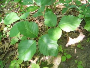 poison ivy control in Kentucky