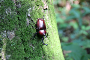 The sap beetle feeds on fungus of an oak tree, spreading oak wilt to surrounding oak trees.