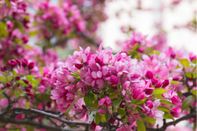 Flowering Trees in Kentucky to Boost Your Home's Curb Appeal