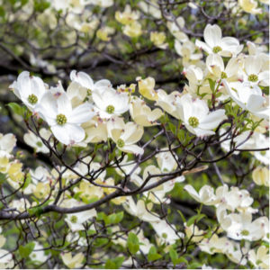 Adding a dogwood tree to your Kentucky lawn is a great way to add a pop of beauty.