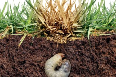 How to Stop Grubs From Destroying Your Southern Indiana & Kentucky Lawn